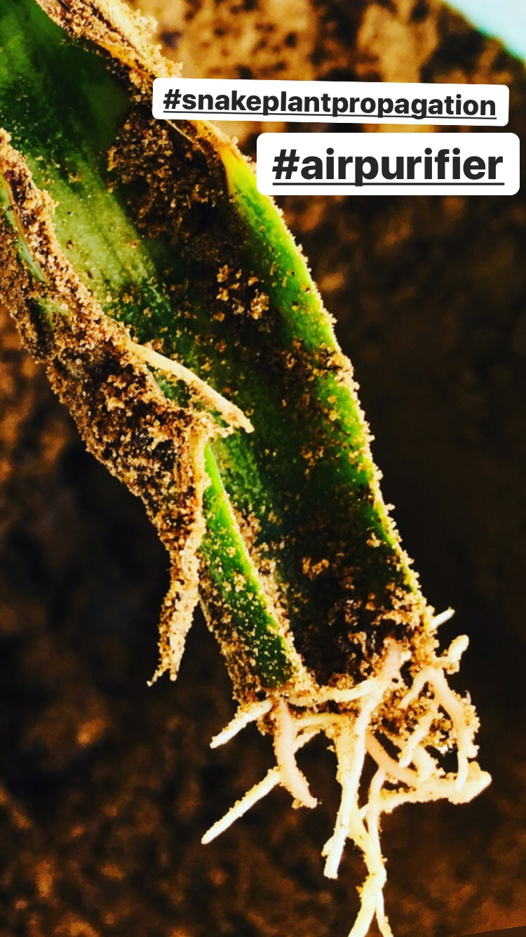 Snake plant propagation in water – patience is the key