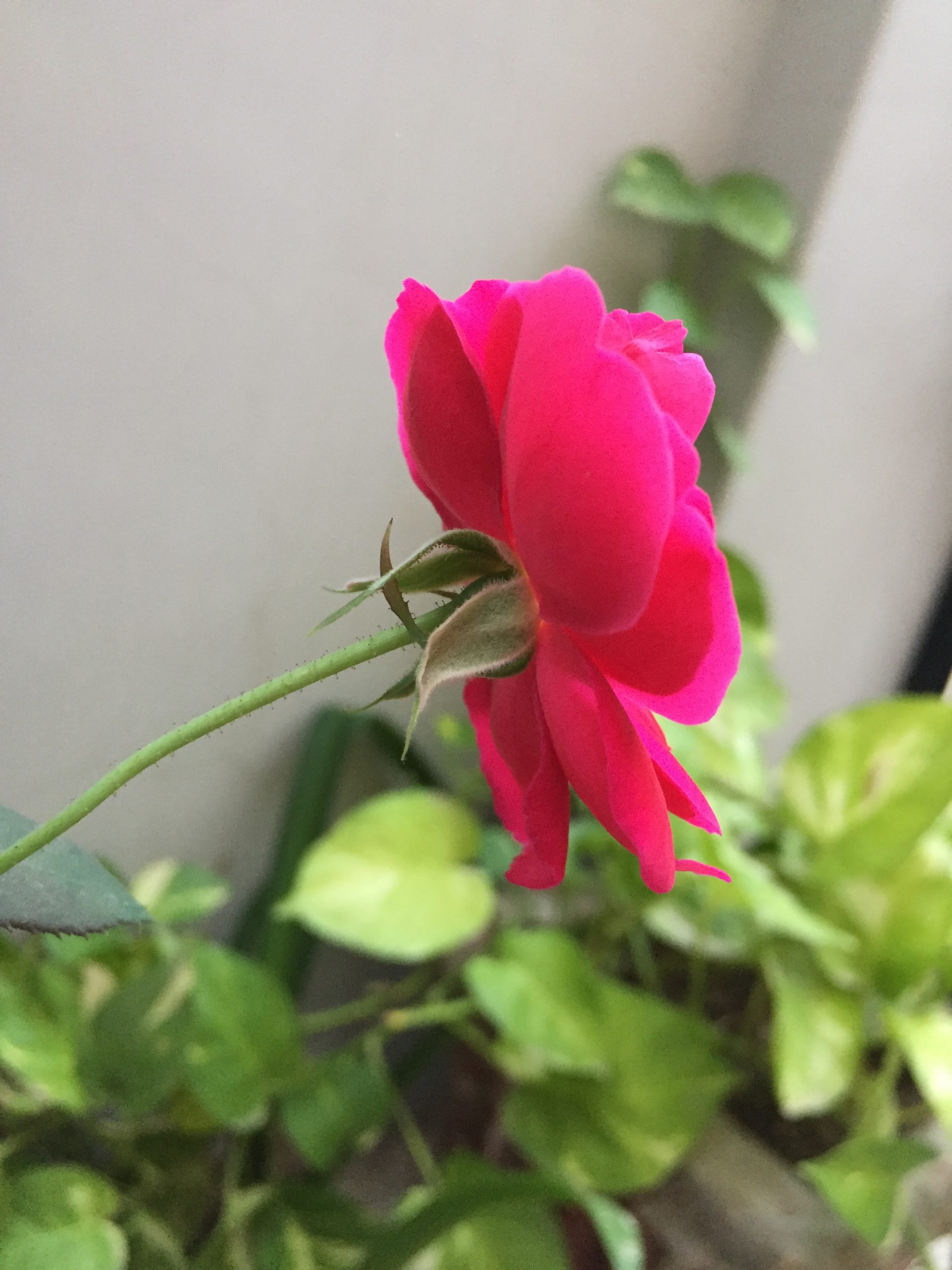 complete guide to growing, propagating and taking care of rose plant at home